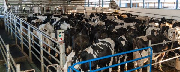 élevage bovins